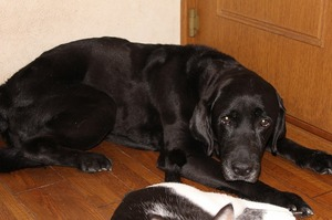 うちの犬紹介 ラブラドールレトリバー