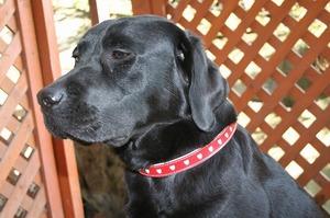 うちの犬 ラブラドールレトリバー2匹目